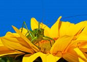 stock photo of locust  - Large locust sitting on a bright sunflower - JPG