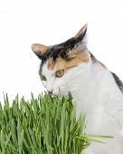 Female cat smelling grass, isolated
