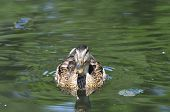 Mallard.The young bird.