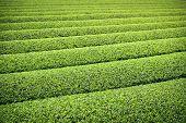 Tea Plantation in Yokkaichi, Japan.