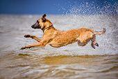 belgian shepherd dog at the sea