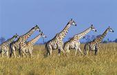 Group of Maasai Giraffes (Giraffa Camelopardalus) on savannah