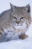 Wild cat in snow