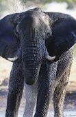 African Elephant (Loxodonta Africana) bathing at waterhole