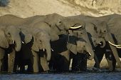 African Elephants (Loxodonta Africana) at waterhole