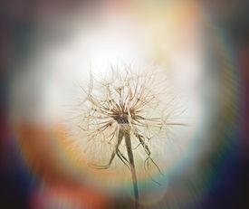 image of dandelion seed  - Beautiful dandelion seeds  - JPG