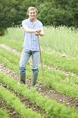 Farmer Working In Organic Farm Field Raking Carrots