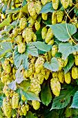 Hops blooming with leaves