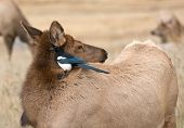Magpie And Cow Elk