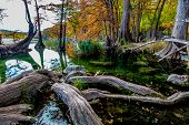 Giant Gnarly Cypress Roots and Fall Foliage at Garner State Park, Texas