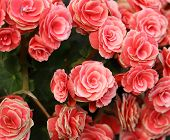 pic of begonias  - pink begonia flower blooming in the garden - JPG
