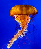 Orange Pacific Sea Nettle Jellyfish