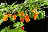 Chili plant