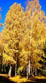 picture of birching  - Birch birch groves and alleys yellow foliage of the Golden autumn - JPG