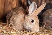 pic of husbandry  - Closeup of domestic  rabbit  in the barn - JPG