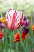 various tulips in a garden