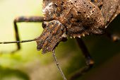 Stink Bug Closeup