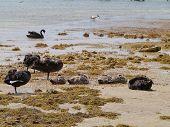 An Australian black swan family