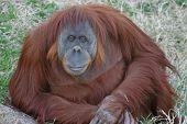 Goofy orangutan