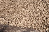 stock photo of sugar industry  - Pile of sugar beets on the ground after harvest - JPG