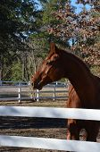 pic of chestnut horse  - Chestnut horse profile over a white fence in the sun - JPG