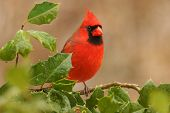 stock photo of songbird  - Male Northern Cardinal  - JPG