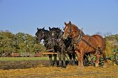 stock photo of horse plowing  - A team of three horses are standing in a field of oats stubble where they are pulling a plow - JPG