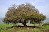 Oak Tree, Golan Heights In Israel