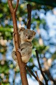 Koala at Currumbin Wildlife Park