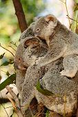 Koalas at Currumbin Wildlife Park