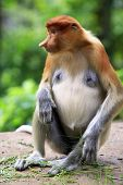 picture of monkeys  - Proboscis Monkeys Nasalis larvatus or long-nosed monkeys the worlds most endangered primates are endemic to the mangrove forests of the Southeast Asian island of Borneo. 