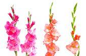Studio Shot Of Mixed Colored Gladiolus Isolated On White Backgroud