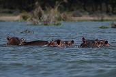 Hippos' Family