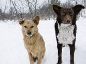 stock photo of stray dog  - Close up of two stray dogs asking for food winter forest in the background - JPG