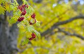 pic of rowan berry  - Rowan berries on twigs in autumn colors - JPG