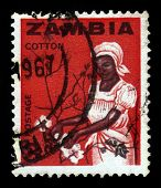Young Woman Collects Cotton