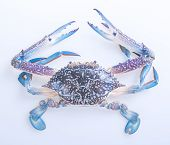 picture of crab  - crabs - JPG