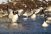 Canada Goose Stretching Its Wings Among Friends
