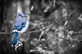 Blue Jay On A Snowy Day - Selective Color