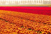 Colorful tulip fields in summer time, Netherlands