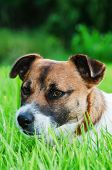 Jack Russell Terrier On A Green Spring Grass, Close-up