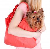 picture of yorkshire terrier  - Woman holding cute Yorkshire terrier in bag isolated on white - JPG