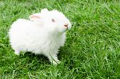 picture of white rabbit  - beautiful white rabbit sits in a grass - JPG