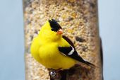 picture of songbird  - Male American goldfinch Carduelis tristis at bird feeder - JPG