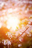 pic of tree-flower  - Flowering spring trees - JPG