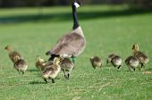 picture of mother goose  - Adorable Little Goslings Running to Catch Mom - JPG