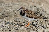 image of jungle birds  - Ruddy Turnstone Arenaria interpres Birds of Thailand - JPG