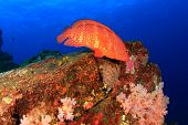 stock photo of grouper  - Coral Grouper fish - JPG