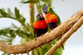 image of lorikeets  - two Rainbow Lorikeet the preen each other - JPG
