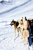 stock photo of sled  - Husky Sled Dogs wait that the race begins - JPG